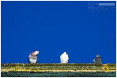 The Birds (Mark Winterbourne | markwinterbourne.com) Tags: england unitedkingdom pigeons documentary haworth markwinterbournephotographycanoneosbradfordwestyorkshireunitedkingdomleedsyeadon markwinterbournephotographycanoneosbradfordwestyorkshire