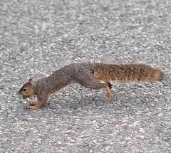 Esquilo (pmenge) Tags: samyang dallas esquilo 85mm xt1