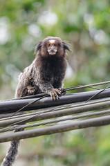 Micos hbridos (mcvmjr1971) Tags: vermelho niteri regioocenica nikond7000 mmoraes exposure riodejaneiro prainha nuvens cloudy day monkey mico macaco sagui da cara dourada mix curtoniteroi