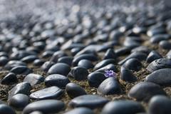 Among Pebbles (danliecheng) Tags: alone artistic background blue coarse cold fallen flower hard life lonely nature path pavement pebbles purple road rough season stones track