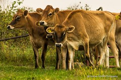 Jersey Cattle (Thomas DeHoff) Tags: cattle dairy jersey farm animals iowa sony a580
