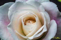 Whiterosepinkblush2.jpg (raysul) Tags: flower macro floralart flowerphotography closeup depthoffield decorative beautyinmacro rose