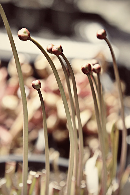 Sarracenia flower buds