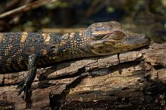 Sleepy Time (BcLand) Tags: baby lake sunshine branch sleep reptile alligator d200 sunning 70200mmf28vr tceii soakingupsomesun springtimeishereagain