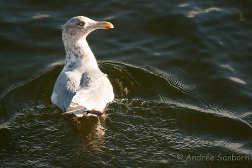 Herring Gull (Larus argentatus)-3.jpg