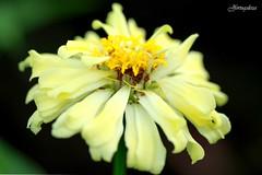 Nihon (jfortugaleza) Tags: life white flower macro beauty japan flow death petals earthquake pretty god smooth tsunami memory wrath stalk nihon calamity catastrophe newse citrit