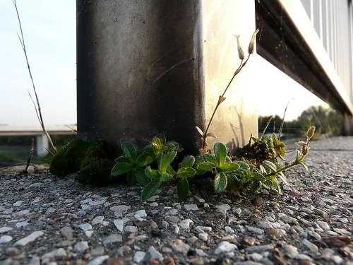 Growing on the bridge over Danube