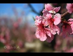 LA FLOR DEL MELOCOTONERO (Sara (Cuka)) Tags: primavera arbol flor rosa melocoton melocotonero frutales