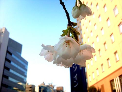 桜2011.03.29茅場町