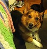 87/365 (kjenkinsduffy) Tags: dog corgi scout 087365 project3662011 032811