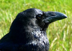 Raven (Frans.Sellies) Tags: raven raaf kruk cuervo rabe corvo corb corbeau hrafn corvuscorax ramn naturesfinest commonraven grandcorbeau  kuzgun cacalote supershot korp ravn  kolkrabe cuervocomn korppi corvocomum avianexcellence holl corvoimperiale karakarga  thewonderfulworldofbirds bayakuzgun corbulcomun   corbul    kela p1290901