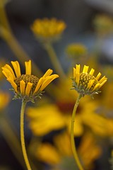 emerging flowers