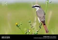 Isabelline Shrike  (Lanius isabellinus) (suhaaz Kechery) Tags: isabellineshrike laniusisabellinus canon60d isabellineshrikelaniusisabellinus birdsofqatar suhaazkecheryphotography sigmadg150500apooshsm