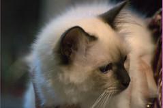 DSC_0337 (Francesco_Fontana) Tags: cat kat chat gato katze mace  macska gatto  con kot gat koka kedi katt kissa kttur maka kucing pusa mo   kat     pisic  qattus   kass kais