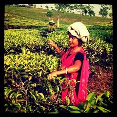 Picking tea outside Srimongal, Bangladesh (uncorneredmarket) Tags: woman bangladesh teaestate srimongal srimangal teapicker finlaytea