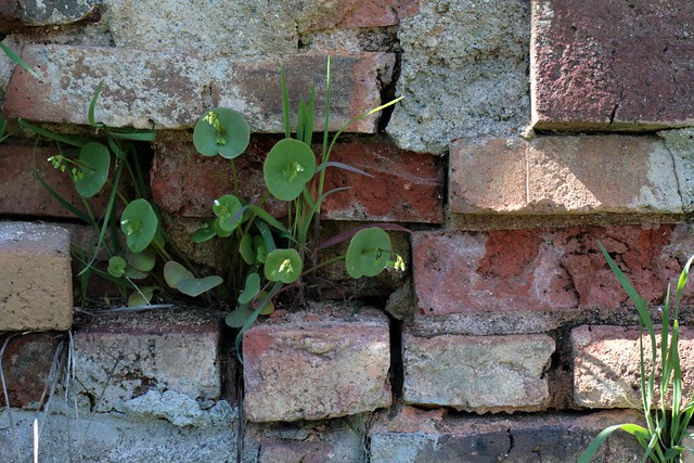 miner's lettuce in an old mining town