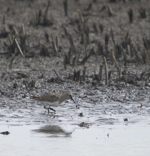 Pectoral sandpiper by Harold of the Rocks