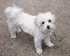 Bella (Paul Keleher) Tags: dog dogs bella brownandwhitedog
