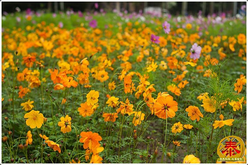 2011-03-26-台大杜鵑花 (9)