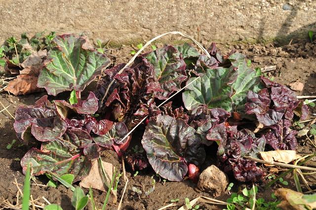 Rhubarb (DS3_7797)