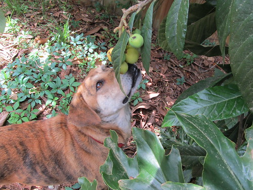 Backup Dog likes fresh fruit