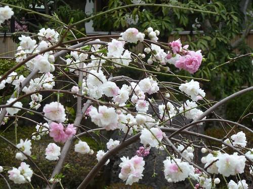 20110408花見 030