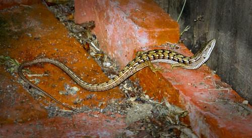 Its a lizard...Its a snake...Its a Skink!