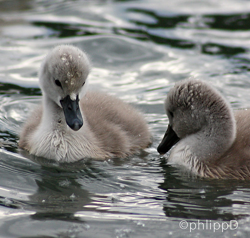 Little swans in the water