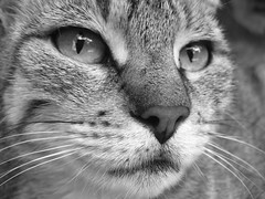 (Lolita *) Tags: bw pet byn closeup cat j bn gato mascota kfd 28lunesmarzo20110111up