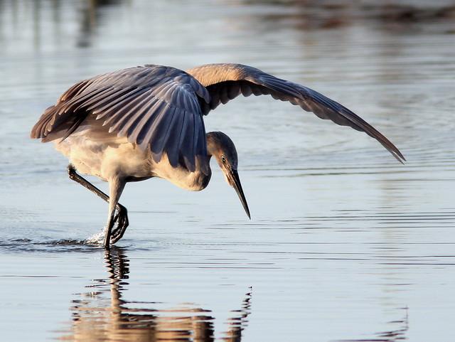 Reddish Egret dance 6-20110408