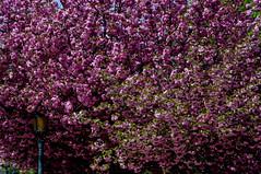 Lampadaire (Edgard.V) Tags: pink flores tree primavera rose garden cherry spring blossom jardin rosa du jardim japo notre dame printemps japon cerisiers floraison