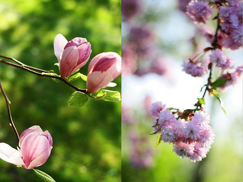 magnoliaG