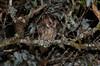 Luzon Scops Owl (Otus longicornis) (Bram Demeulemeester - Birdguiding Philippines) Tags: philippines luzon centralmountains mountdata bramdemeulemeester luzonscopsowl otuslongicornis birdguidingphilippines philippinesbirdingtours
