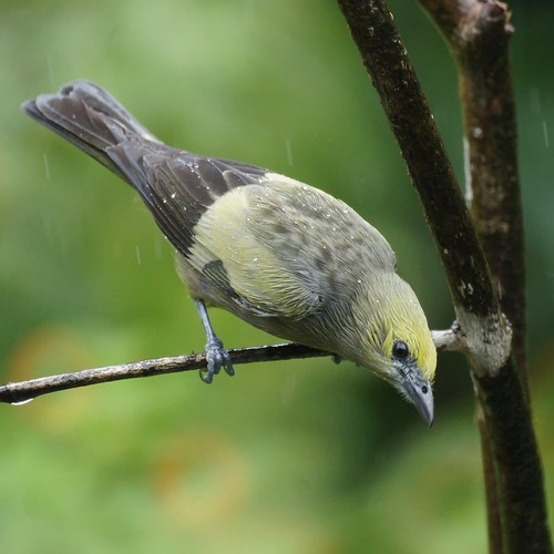 Palm Tanager (male)