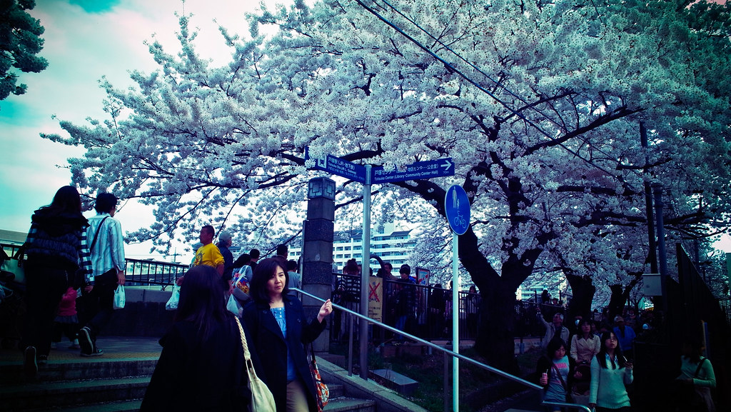 Enjoying seeing cherry blossom