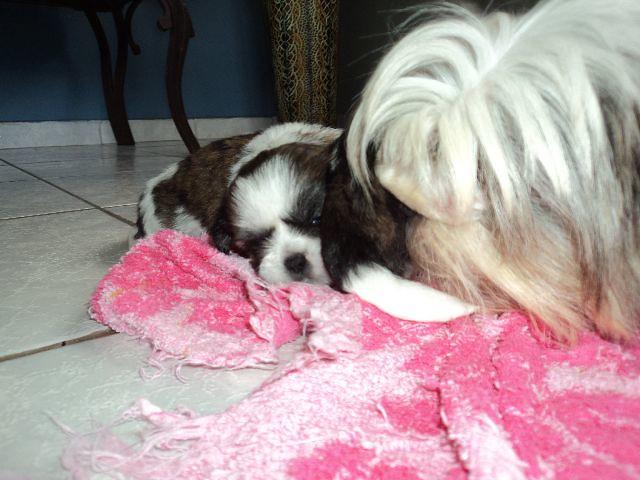 Chizu Dog Breed