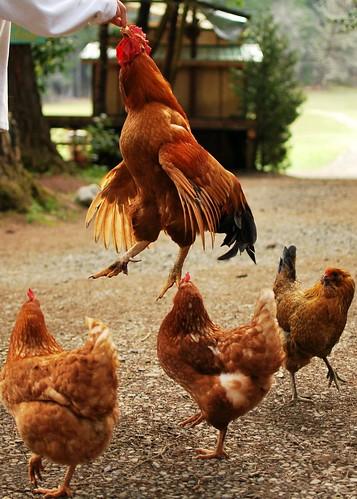 chicken crop