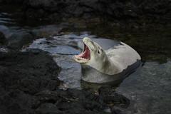 _MG_2923 (Anna Kipervaser) Tags: ocean beauty island hawaii peace oahu tranquility snorkeling pele monkseal
