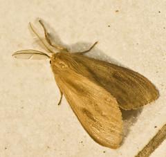 _DSC1862.jpg (aeschylus18917) Tags: macro nature insect thailand nikon moth 蛾 lepidoptera thai chiangmai pxt ガ 105mm insecta 105mmf28 เชียงใหม่ ราชอาณาจักรไทย 105mmf28gvrmicro d700 nikkor105mmf28gvrmicro maeon ダニエル ratchaanachakthai nikond700 maekampong danielruyle aeschylus18917 danruyle druyle ルール ダニエルルール แม่ออน maekhampong maekonphong