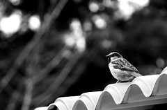 Gorrion perezoso / Lazy sparrow (Cesar Redondo) Tags: blackandwhite naturaleza bird blancoynegro nature birds animal animals zoo dof noiretblanc bokeh aves sparrow ave pretoebranco pardal spatz apr14 april14 passero  gorrion   blackwhitephotos april11 apr11 inbiancoenero abril14 schwarzundweis abril11 abr14 abr11