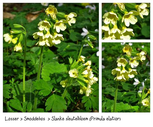 Losser > Smoddebos  > Slanke sleutelbloem (Primula elatior) by Marcel van Gunst