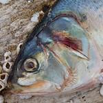 Fish Head thumbnail