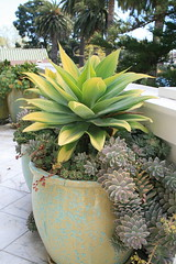 Agave attenuata 'Kara's Stripes' in pot at terrace (David Feix Landscape Design) Tags: alameda masemgarden masemgardenalamedaca41511photos ca41511photos