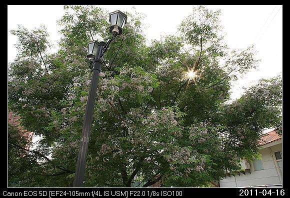 20110416F5新竹市的苦楝花