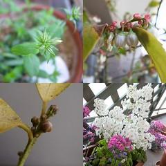 ベランダの植物たち。つりはなしのぶ、ブルーベリー、レモン、サクラソウ。