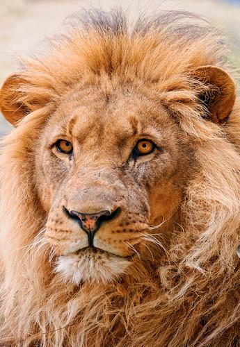 [フリー画像] 動物, 哺乳類, ライオン, 201104211700