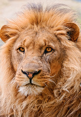 Portrait of the male lion