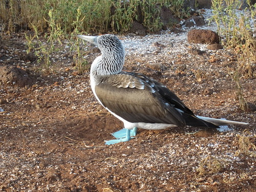 Blue Footed Boobie Walking