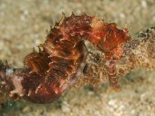 thorny seahorse (Hippocampus histrix)