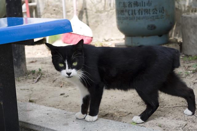 鼓浪屿的猫猫 连炸酱面都吃